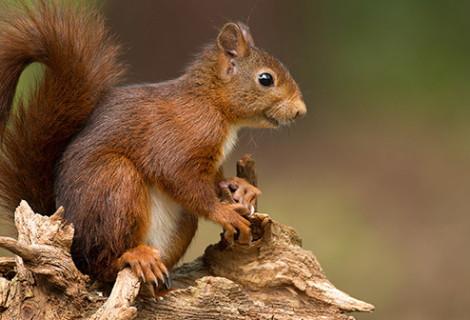 Squirrel Snaring